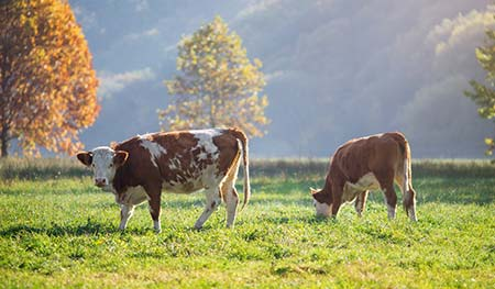 Cattle Care Guide