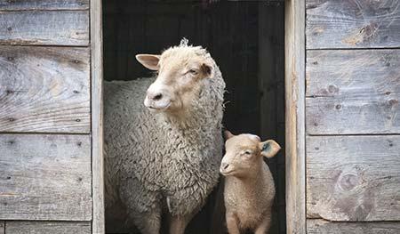 Sheep Care Guide