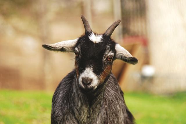 Pygmy Goat Nutrition