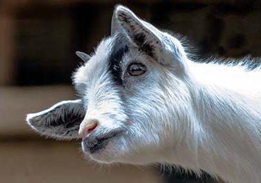 Goat Care Guide