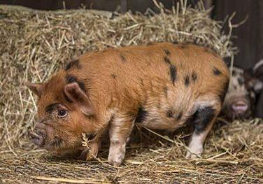 Pig Feeding Guide