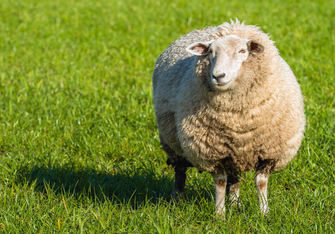 Pregnant sheep in thick winter coat standing in the fresh green grass and looking at photographer on a sunny day in the beginning of the spring season.